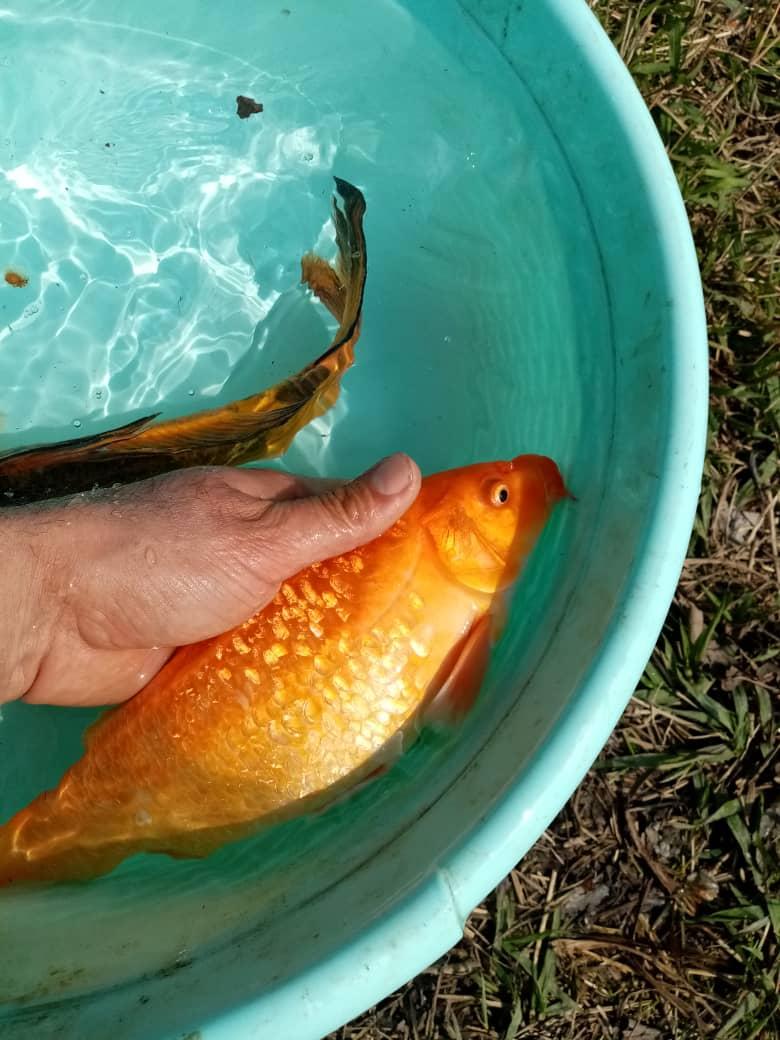 بچه ماهی گرمابی